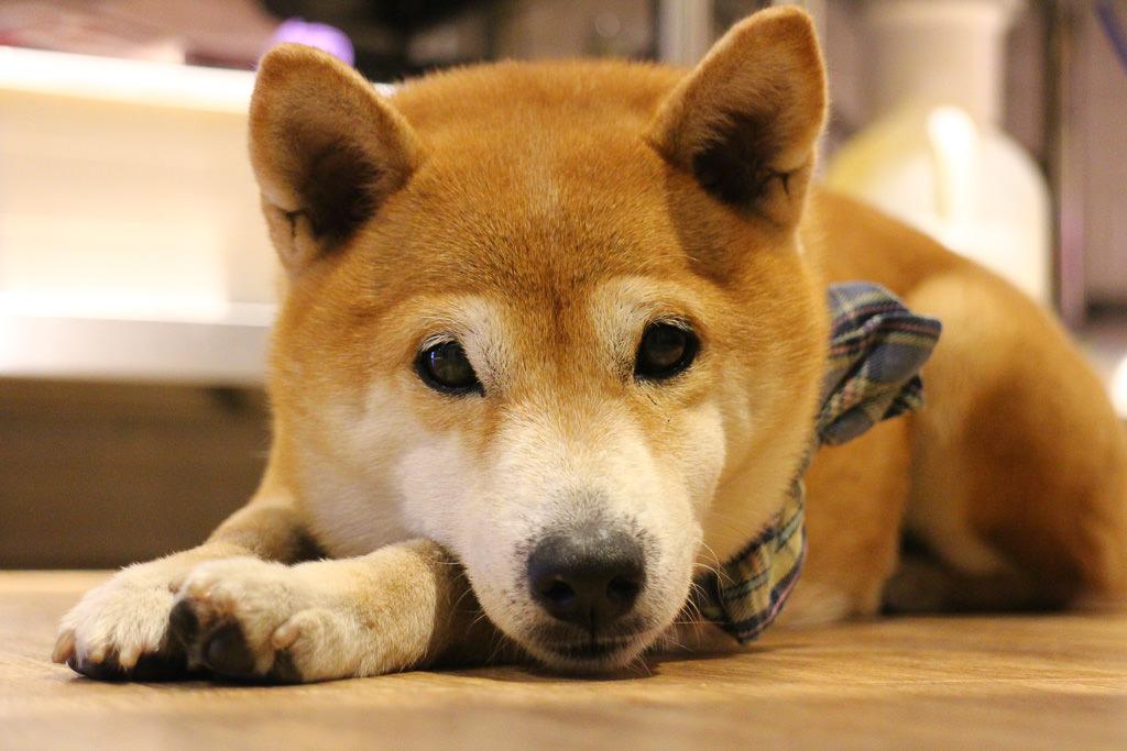 寵物毛小孩 我高傲但是我宅心仁厚,浮水魚羹店裡的冷傲柴柴 台南市東區 柴犬CoCo-小ㄚ鳳浮水魚焿
